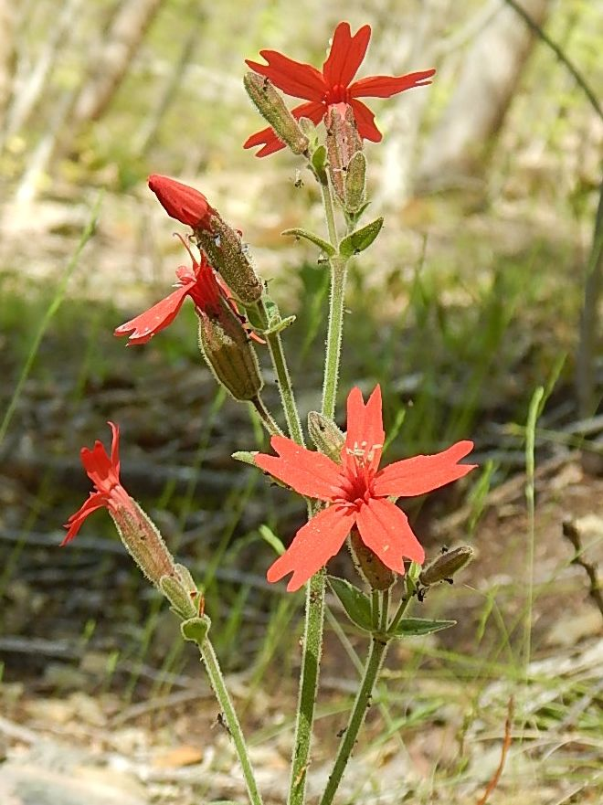 Catchfly.  Because it catches flies.