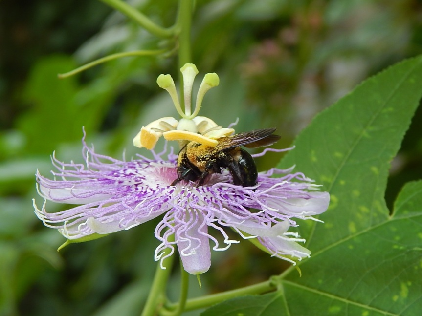 Carpenter bees are one of passionvine's prime pollinators