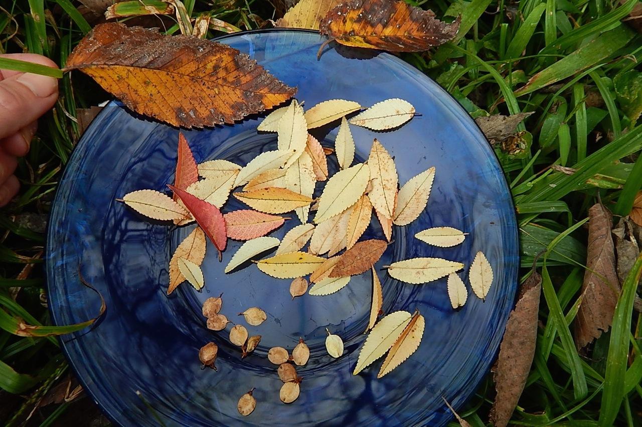 lacebark elm plate