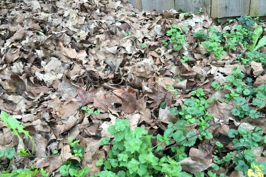 Even leaves can't keep ground ivy, dandelion and chickweed down.