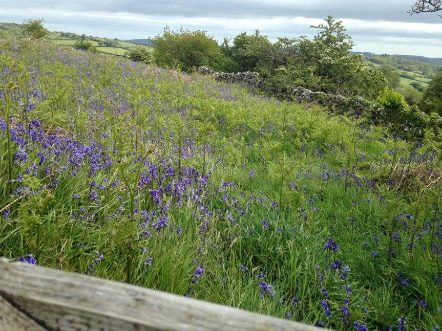 English bluebells, Dartmoor