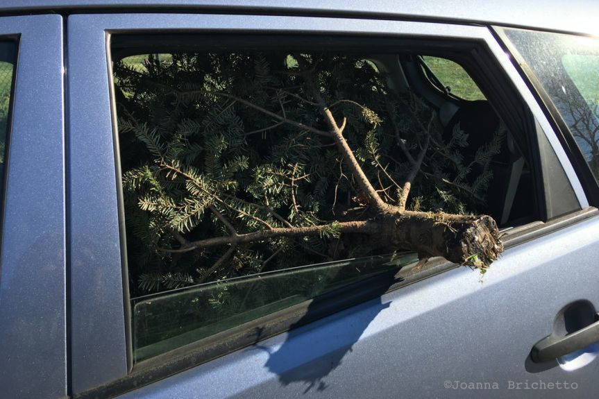 stealing xmas trees
