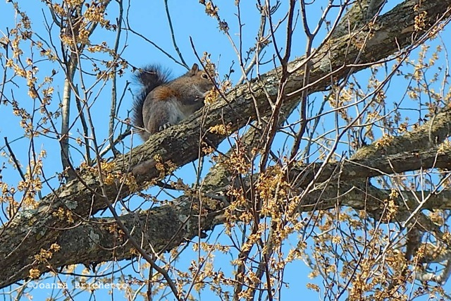 squirrel eating elm buds