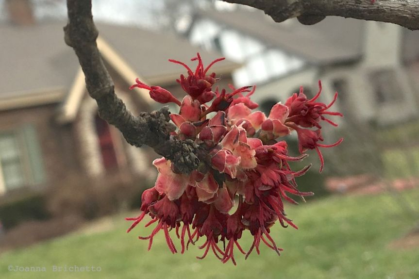 red maple flowers