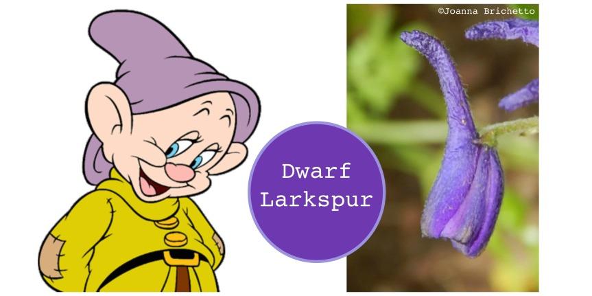 dopey hat larkspur.jpg