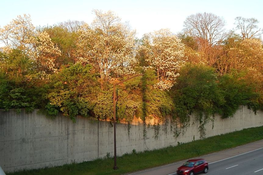 interstate black locust.jpg