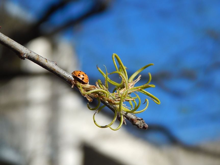 willow oak leaf bud burst