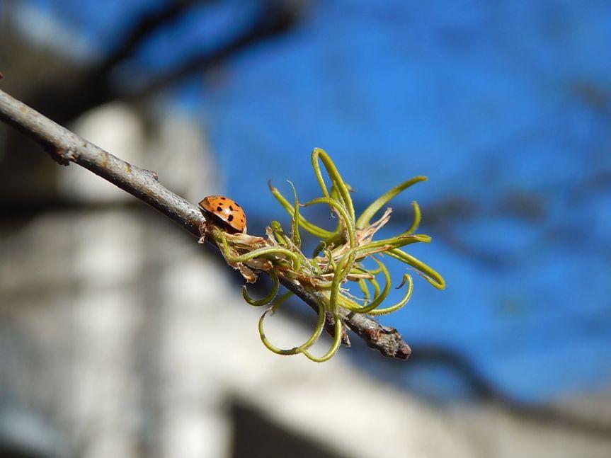 willow oak leaf bud burst