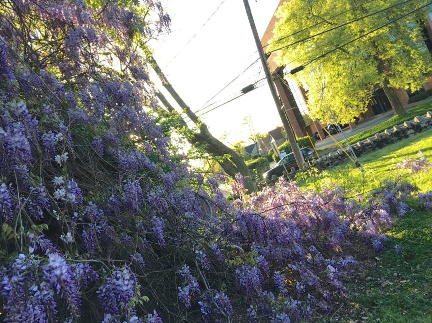 wisteria 21st
