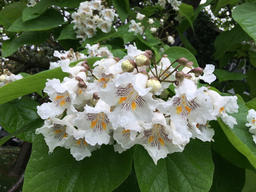 Catalpa flowers