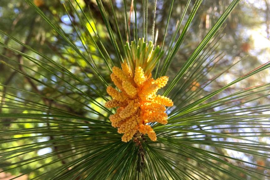 "White Pine ""Flowers"""
