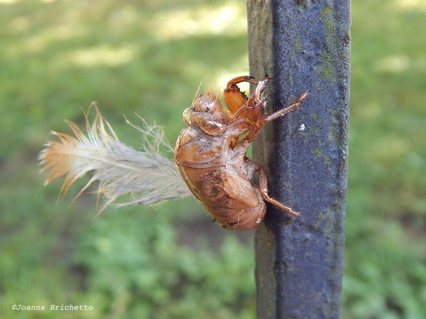 cicada feather