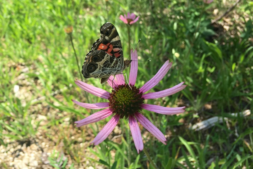 Painted Lady on Tenn. Coneflower