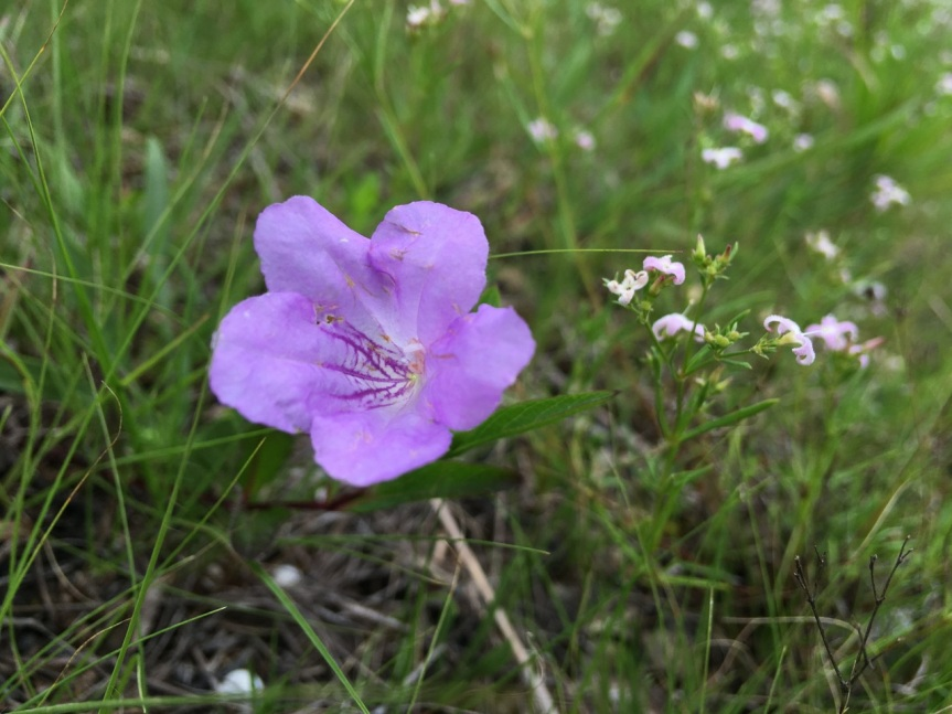 glade petunia