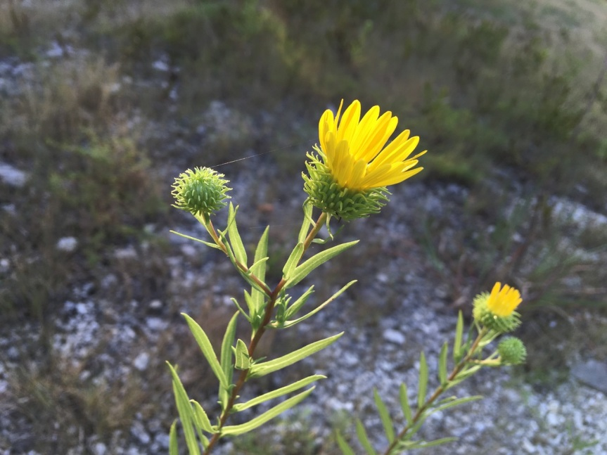 gumweed and spider web