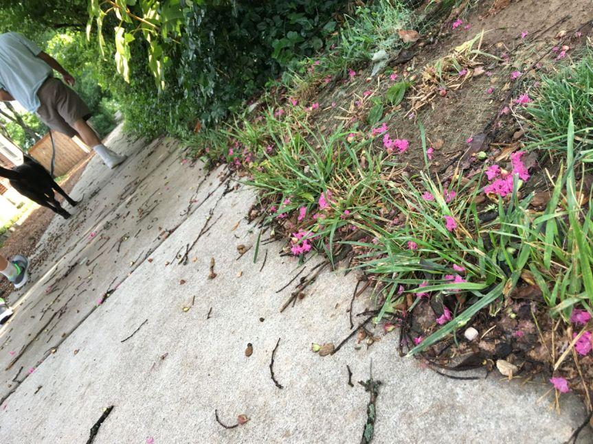 hot pink crepe myrtle sidewalk