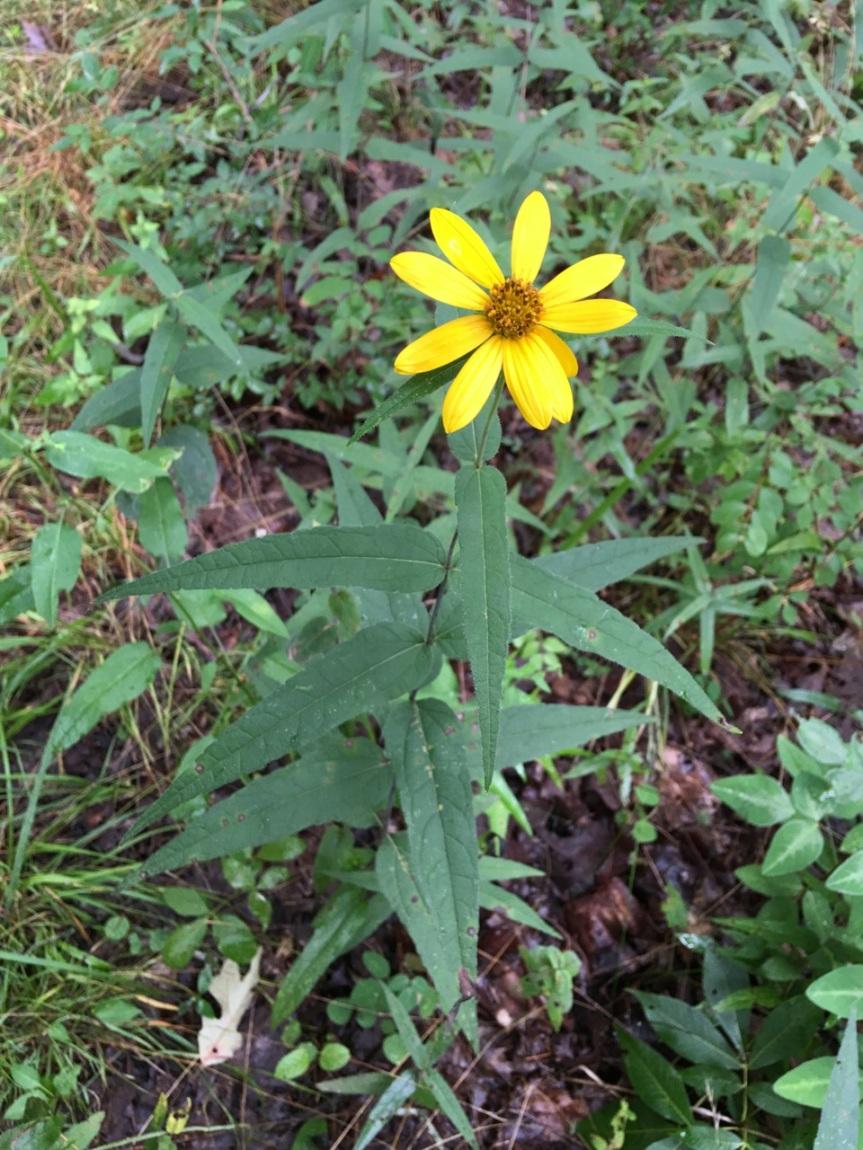 sunflower mystery