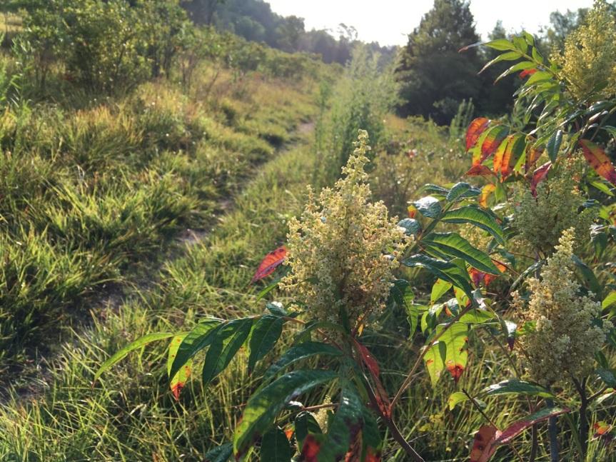 winged sumac flowers, leaves, trail