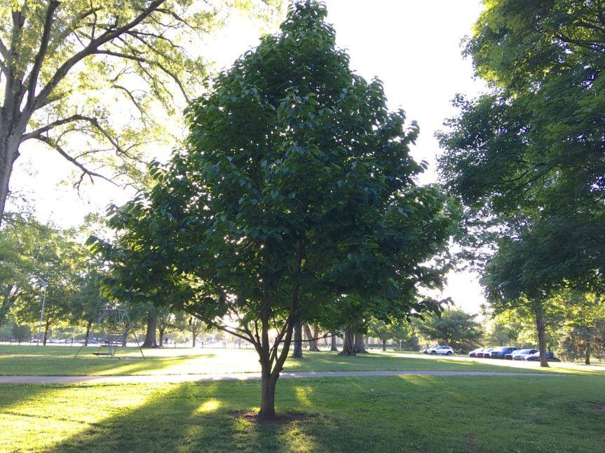 centennial pawpaw tree