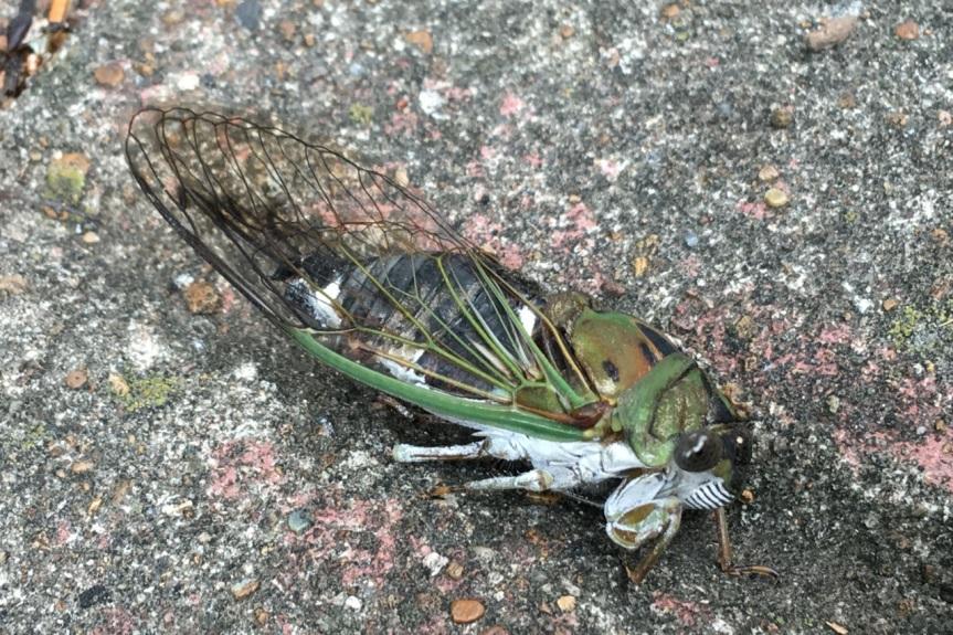 cicada paralyzed