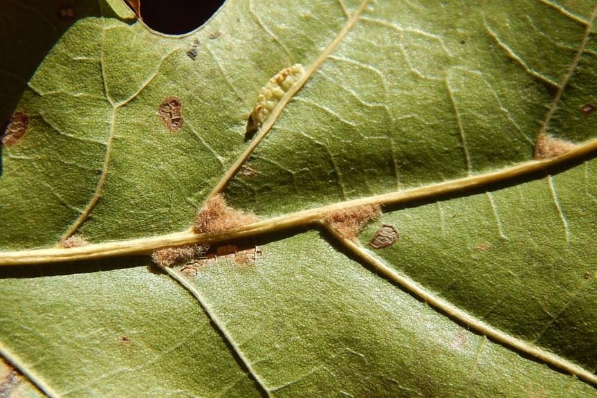 oak-leaf-axillary-tomentum