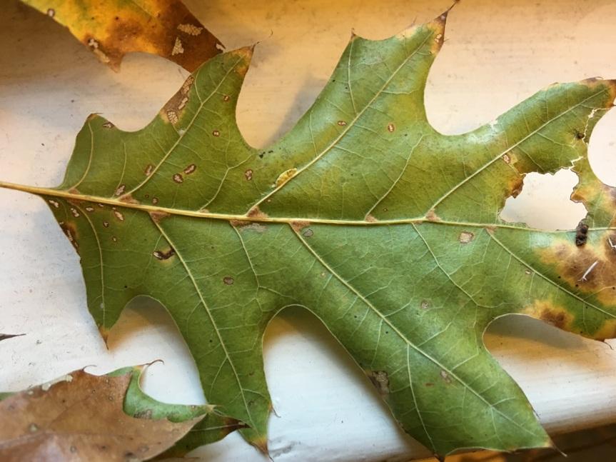 oak-leaf-underside