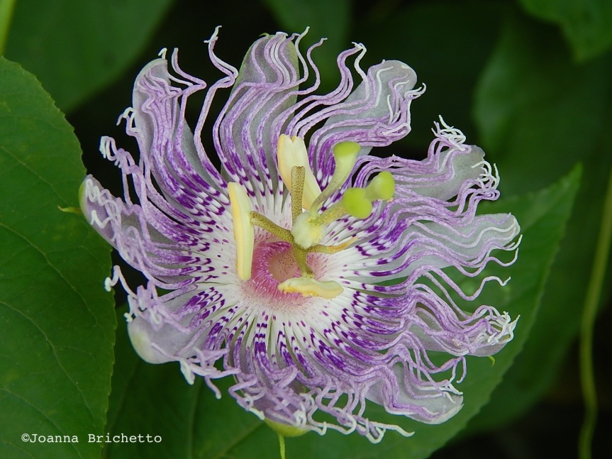 Passionflower _ Brichetto copy