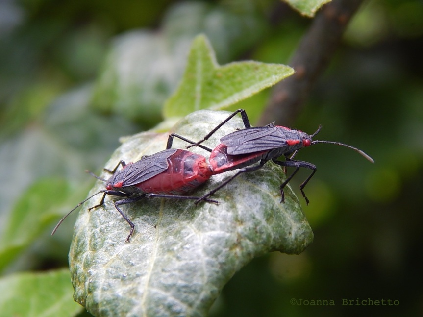 red shouldered bugs