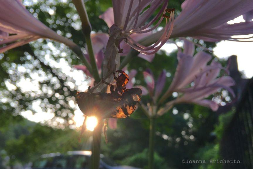 cicada lily 2