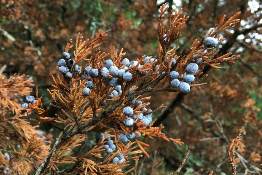 dead cedar live cones