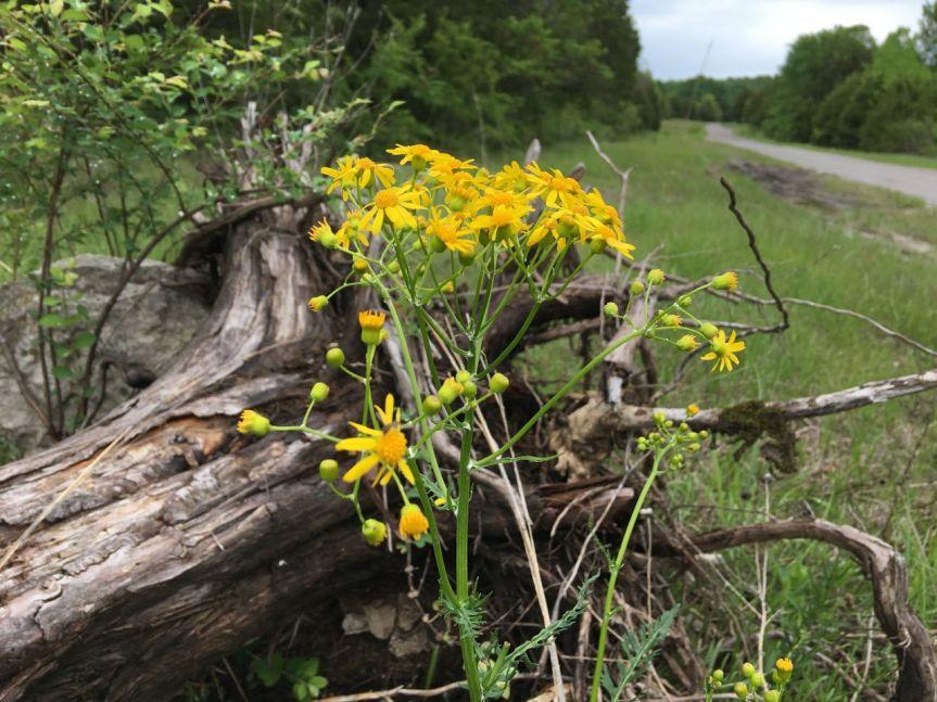 Cedar Forest Roadwildflowers