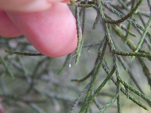 lacewing egg on cedar.jpg