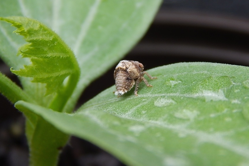 planthopper2
