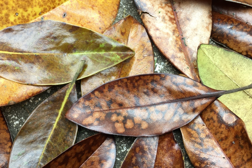 Magnolia grandiflora leaves