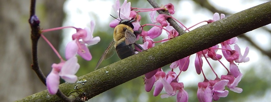 Redbud Carpenter bee