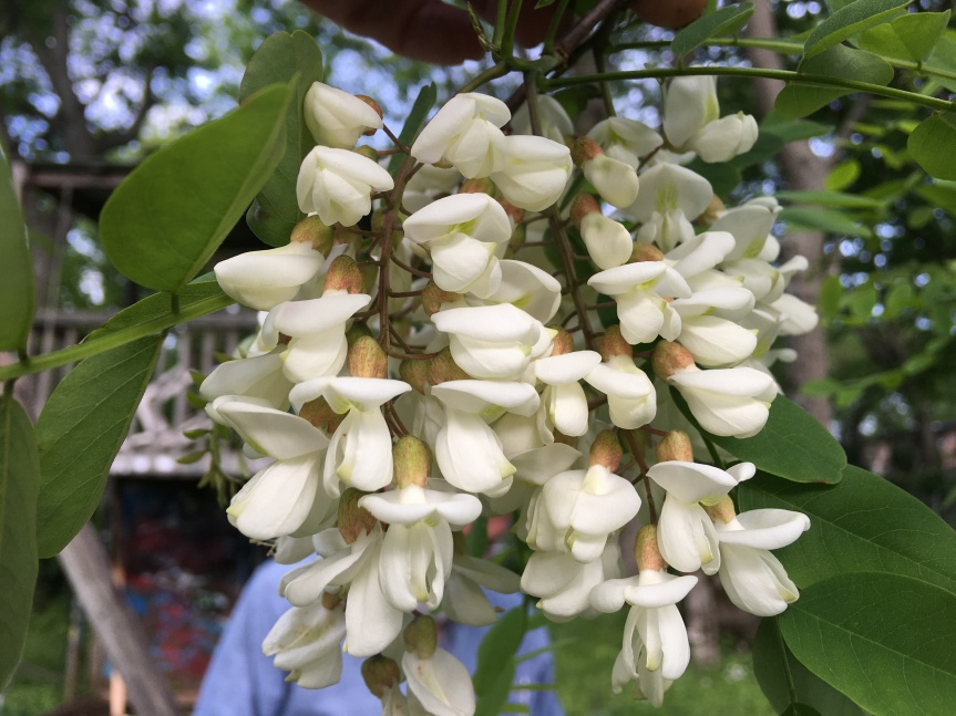 Sidewalk Nature: Black locust blooms