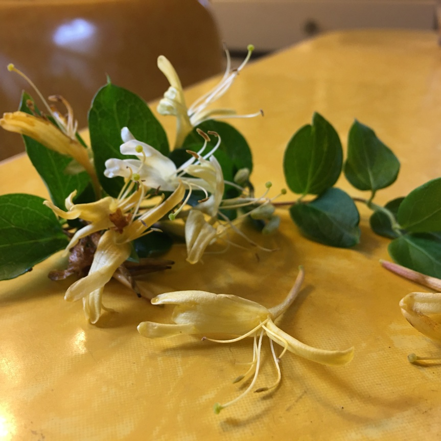 Eat the Exotics: vine honeysuckle